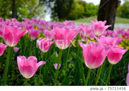 ピンク色に咲いた春のチューリップ畑(ピンク後ろボケ) 75721456