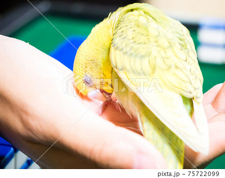 【ペット】手の平に頭を擦り付けるセキセイインコ 75722099