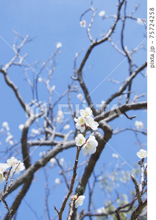 兵庫県西宮市の甲東梅林の梅(2021年) 75724258