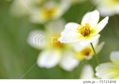 可愛らしい花を咲かせるウィンターコスモス 75725848