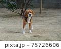 庭の芝生にいるビーグル犬 75726606