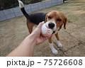 芝生の庭でボール遊びをするビーグル犬 75726608
