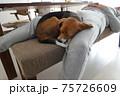 家の中で人と一緒に寝るビーグル犬 75726609