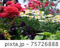 近くの公園の花壇に咲いていた色とりどりの花のコラボレーション 75726888