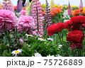 薔薇とルピナス(昇藤)のコラボレーション 75726889