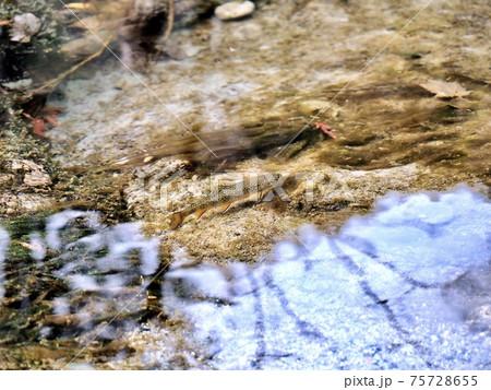 秋の上高地 岳沢湿原にいたカワマス 75728655