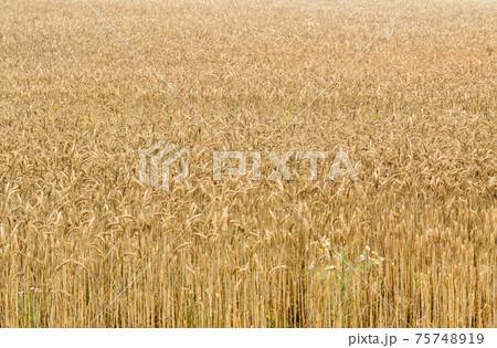 大麦畑 75748919