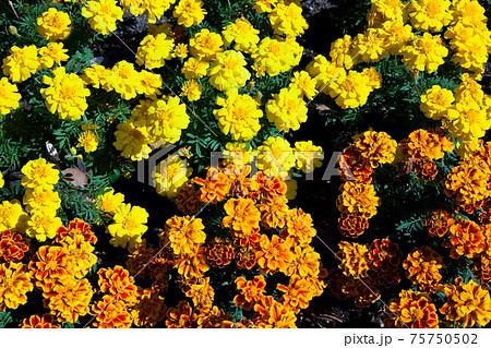 満開の黄色とオレンジ色のマリーゴールド 75750502