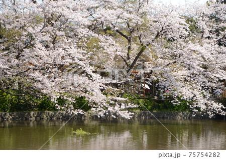静かな池のほとりに鮮やかに咲くさくら 75754282