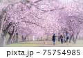 美しい桜並木と女性 後ろ姿 春爛漫 75754985