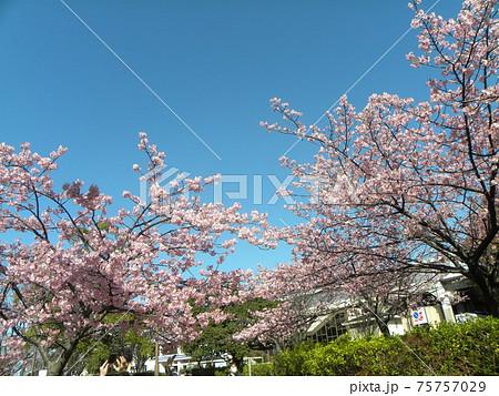 満開になった稲毛海岸駅前の河津桜の桃色の花 75757029
