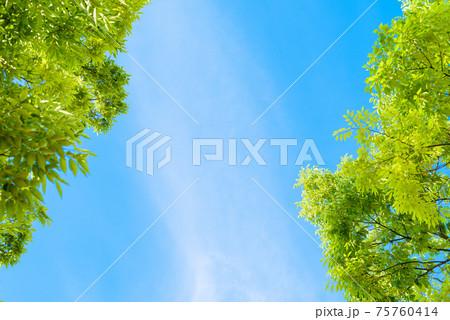 見上げた新緑青空背景素材イメージ 75760414