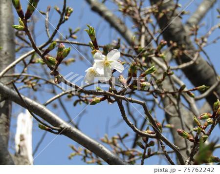 咲き始めたこじま花の会花畑桜並木のサクラの花 75762242