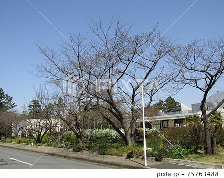 こじま花の会花畑の桜並木のサクラが咲き始めました 75763488