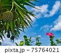 沖縄のアダンとハイビスカス 75764021