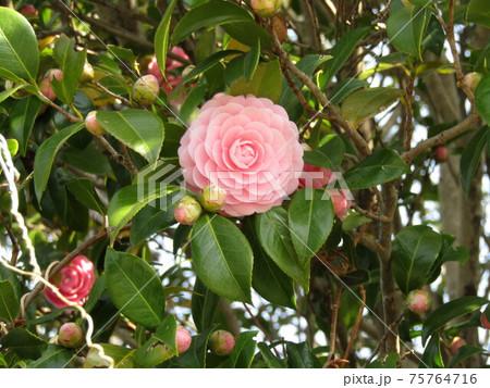 側道植え込みの八重椿の薄桃色の花 75764716