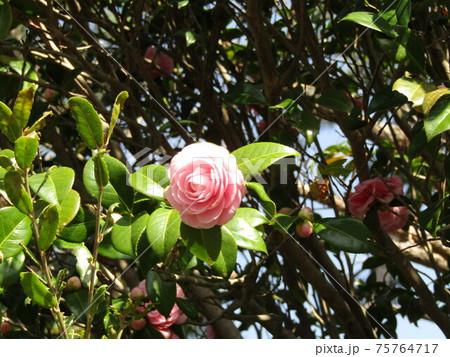 側道植え込みの八重椿の薄桃色の花 75764717