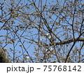 咲き始めたこじま花の会花畑桜並木の山桜の花 75768142