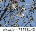 咲き始めたこじま花の会花畑桜並木のサクラの花 75768143