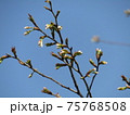 白く膨らんだこじま花の会花畑桜並木のサクラの椿 75768508