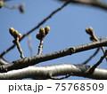 膨らみ始めたこじま花の会花畑桜並木のサクラの蕾 75768509