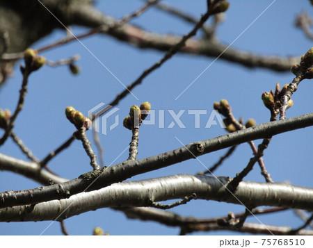 膨らみ始めたこじま花の会花畑桜並木のサクラの蕾 75768510