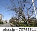 こじま花の会花畑の桜並木のサクラが咲き始めました 75768511