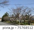 こじま花の会花畑の桜並木のサクラが咲き始めました 75768512