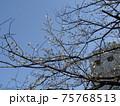 咲き始めたこじま花の会花畑桜並木のサクラの花 75768513