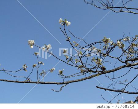 咲き始めたこじま花の会花畑桜並木のサクラの花 75768514