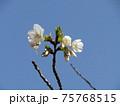 咲き始めたこじま花の会花畑桜並木のサクラの花 75768515
