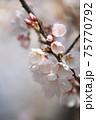 咲き始めの蕾のあるウスズミザクラ 75770792