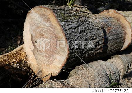太いナラの木を、チェーンソーを使って玉切り 75773422