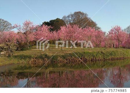 池に映る鮮やかな桃の花 古河公方公園 75774985