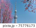 春の東京の風景 スカイツリーと桜 75776173