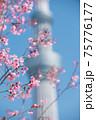 春の東京の風景 スカイツリーと桜 75776177