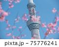 スカイツリーと桜 75776241
