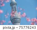 スカイツリーと桜 75776243