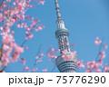 スカイツリーと桜 75776290