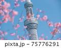 春の東京の風景 スカイツリーと桜 75776291