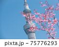 春の東京の風景 スカイツリーと桜 75776293