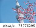 スカイツリーと桜 75776295