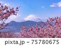 河津桜と富士山 75780675