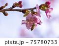 河津桜とミツバチ 75780733