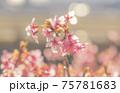 早春の河津桜 75781683