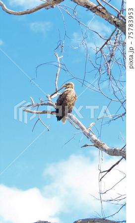 青空背景に木の枝にとまるオジロワシ 75783953