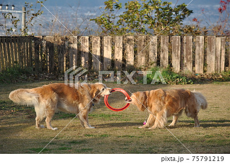 ドッグランでフリスビーを取り合う犬 75791219