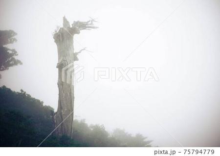 もののけの森のような屋久島の森と屋久杉 75794779