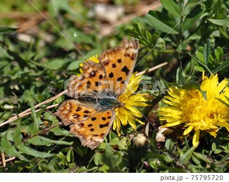 タンポポの蜜を吸うヒオドシチョウ(羽根全開) 75795720