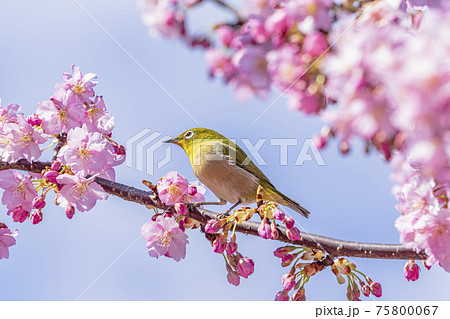 河津桜とメジロ   75800067
